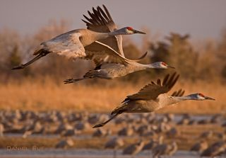 Flickr Sandhill Cranes