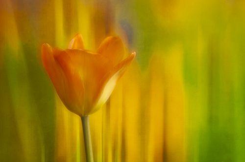 20120418_Tulip 2x textr 3824