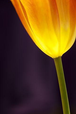 20120421_TulipPurpleGlow3 4109