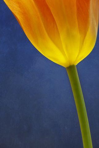 20120421_TulipBlueGlow4123