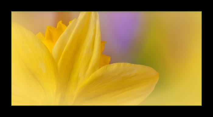 20130327 daffodil behind crop_7821