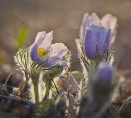 20130425 Pasque Flowers_8758