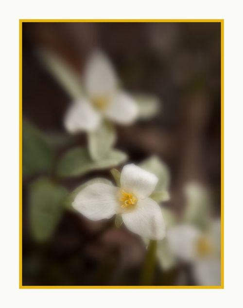 20130429 Snow Trillium 2 soft crop_9054