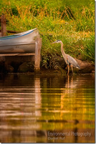 20130808-Great-Blue-Heron-edit-defuse_boat-watrmrk_4584