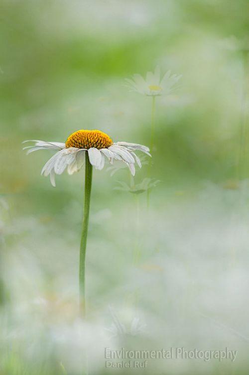 20130618-Ox-eye-daisy-watermark_1467