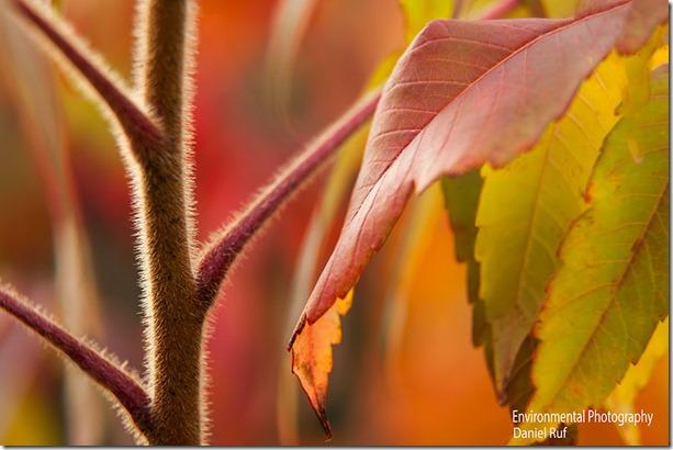 20130924-Fall-Sumac-watrmrk_7468