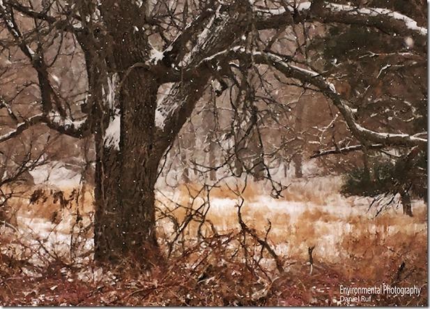20131231-Under-The-Old-Oak-Tree-iphoneIMG-oil-watrmrk_0660